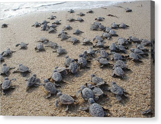 Turtles Canvas Print - Crawl To The Ocean by Mary Wozny