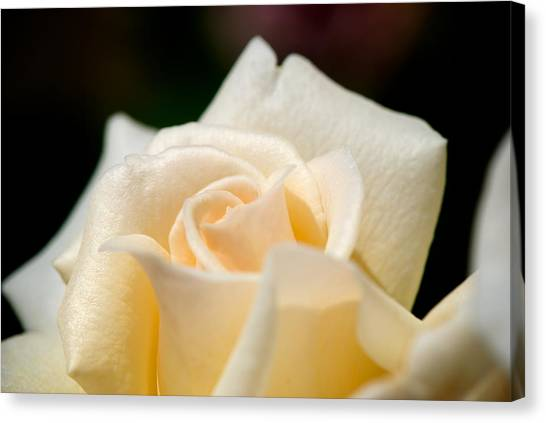 Cream Rose Kisses Canvas Print