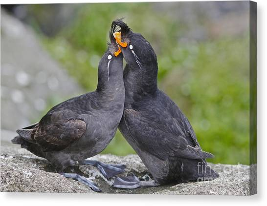 Auklets Canvas Print - Crested Auklet Pair by Desmond Dugan/FLPA