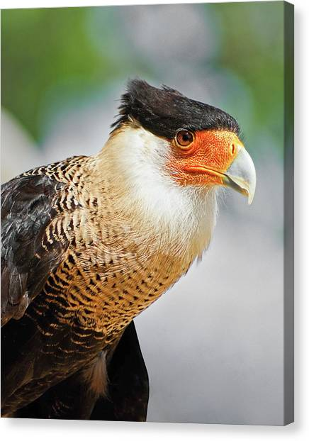 Crested Caracara Canvas Print
