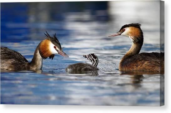 Crested Grebe, Podiceps Cristatus, Ducks Family Canvas Print