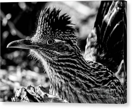 Cresting Roadrunner, Black And White Canvas Print