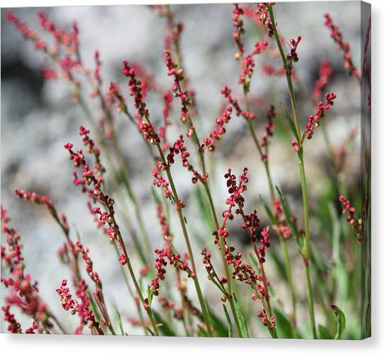 Crimson Field Canvas Print