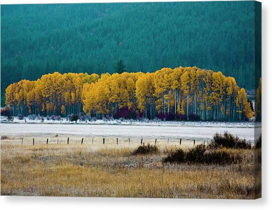 Crisp Aspen Morning Canvas Print