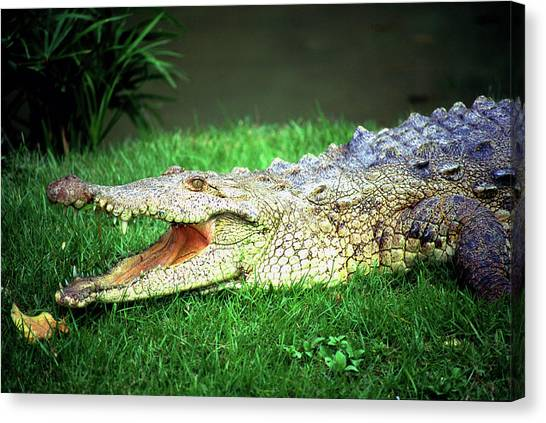 Crocodylus Acutus Canvas Print by Luciano Comba
