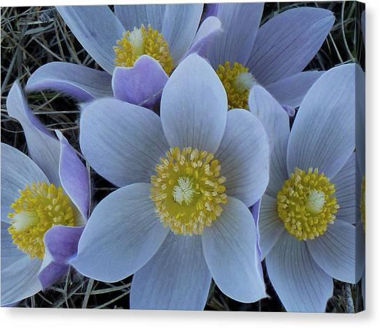 Crocus Blossoms Canvas Print