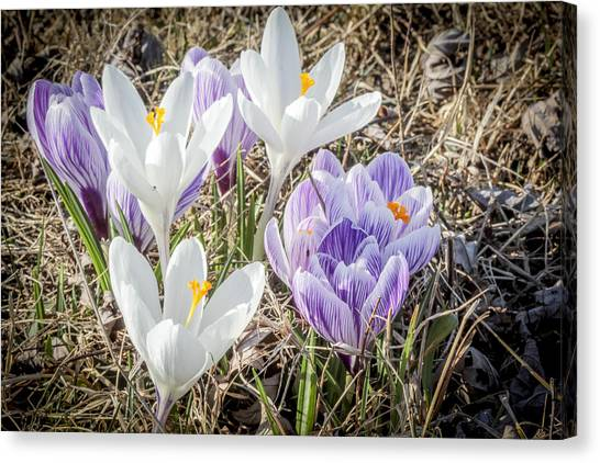 Crocus In The Nature Canvas Print