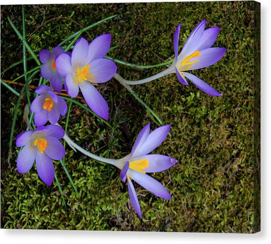 Canvas Print featuring the photograph Crocus Outreach by Roger Bester