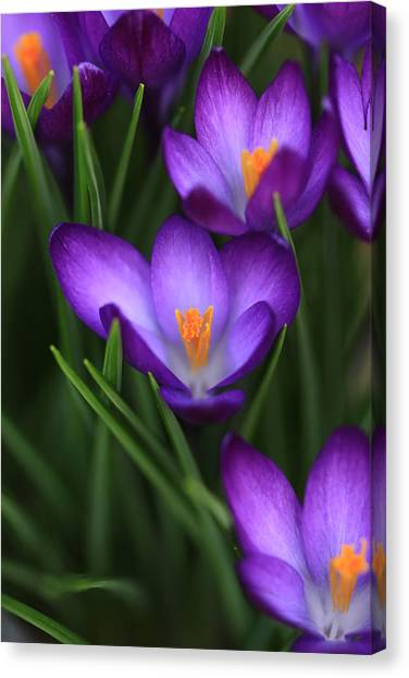 Crocus Vividus Canvas Print