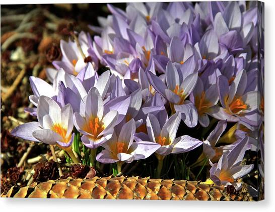 Crocuses Serenade Canvas Print