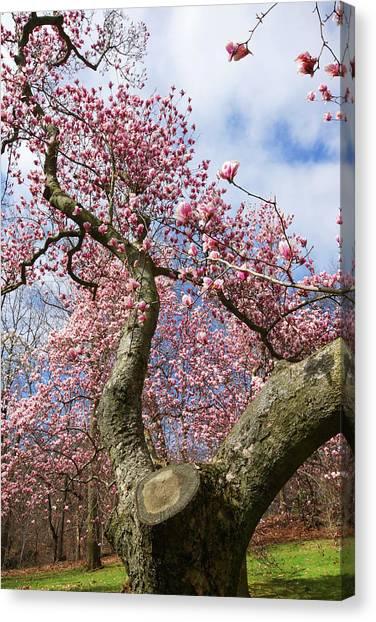 Crooked Magnolia Canvas Print