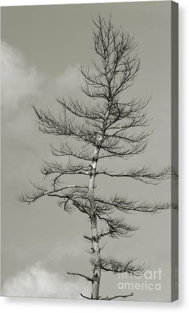 Crooked Tree Canvas Print