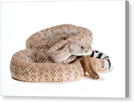 Diamondbacks Canvas Print - Crotalus Atrox by Thor Hakonsen