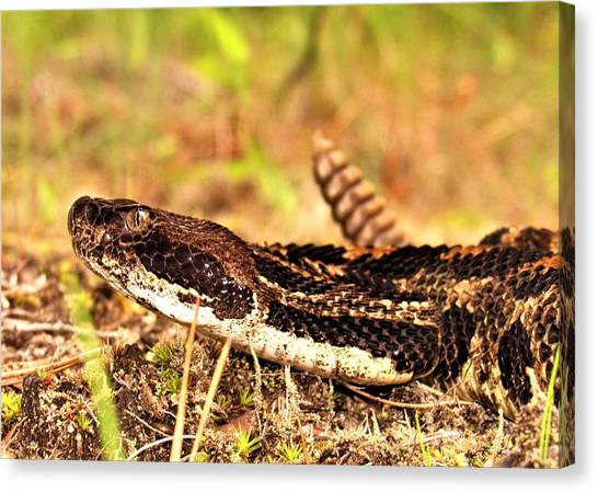 Timber Rattlesnakes Canvas Print -  Crotalus Horridus Macro by Joshua Bales