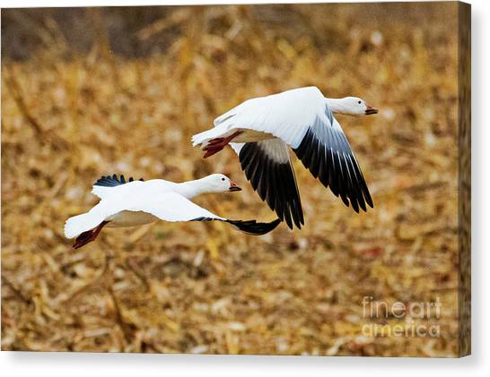 Corn Field Canvas Print - Cruising The Stubble by Mike Dawson