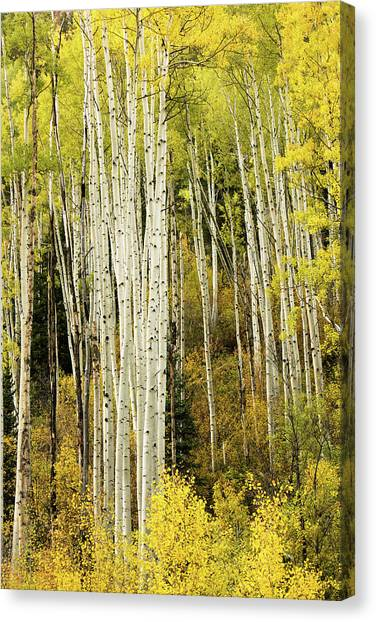 Crystal Aspens Canvas Print