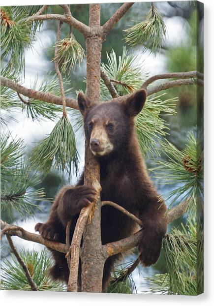 Cub In Tree Dry Brushed Canvas Print