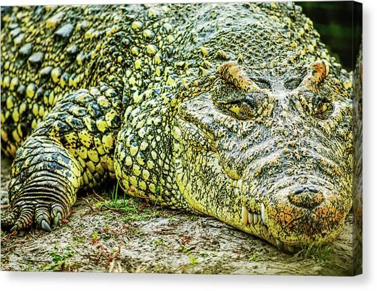 Cuban Croc Canvas Print