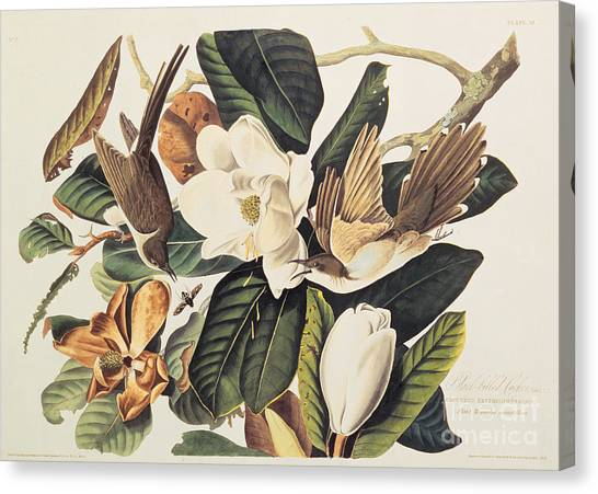 Tree Canvas Print - Cuckoo On Magnolia Grandiflora by John James Audubon