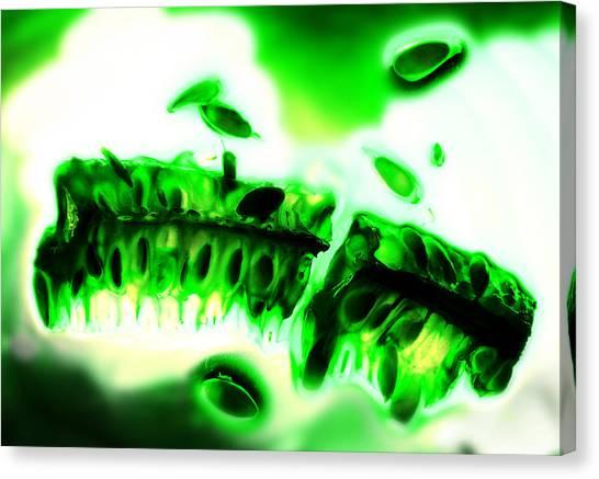 Spinal Column Of A Cucumber Canvas Print
