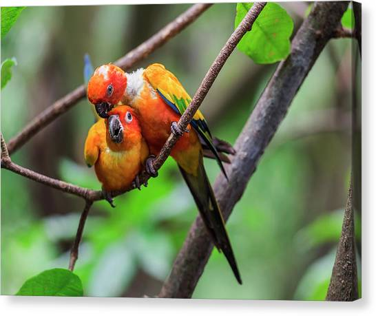 Canvas Print featuring the photograph Cuddling Parrots by Pradeep Raja Prints