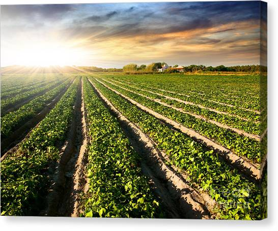 Rural Canvas Print - Cultivated Land by Carlos Caetano