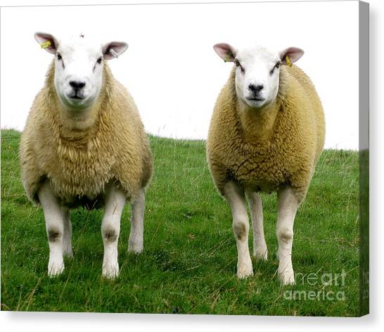 Cumbrian Sheep Canvas Print by Ruth Hallam