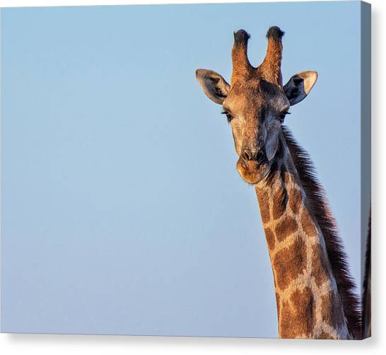 Canvas Print featuring the photograph Curious 1 by Rand
