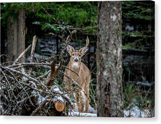 Curious Buck Canvas Print
