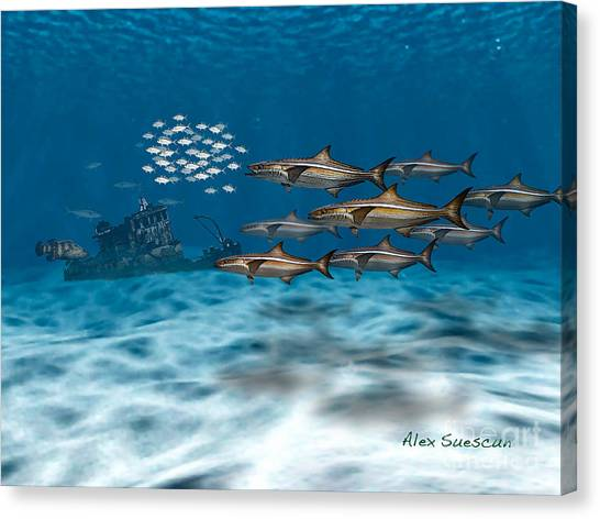 Curious Cobia Canvas Print
