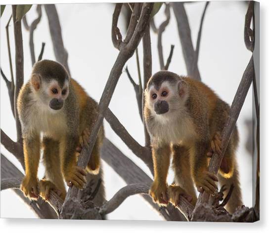 Costa Rican Canvas Print - Curious Couple by Betsy Knapp