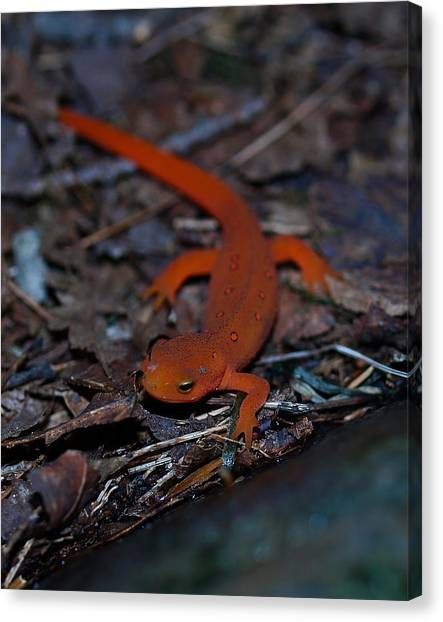 Newts Canvas Print - Curious Eft by Peter Gray
