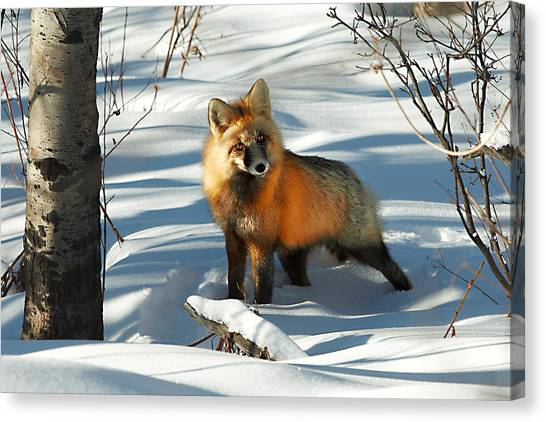 Fox Glacier Canvas Print - Curious Fox by Todd Klassy