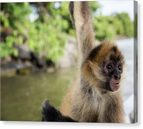 Curious Monkey Canvas Print by Michael Santos