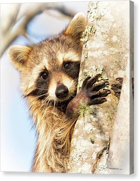 Curious Raccoon 6054 Canvas Print by Dan Beauvais