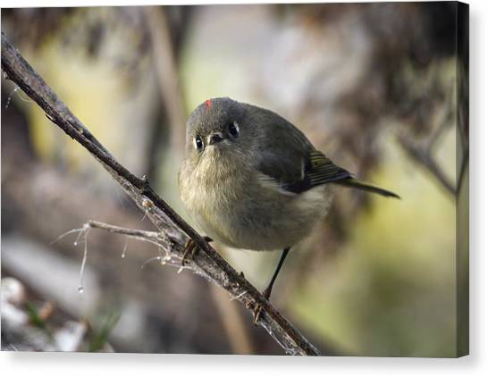 Curious Ruby-crowned Kinglet Canvas Print