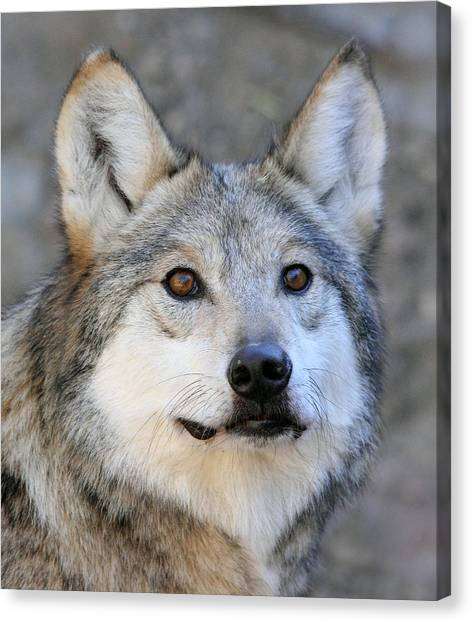 Curious Wolf Canvas Print