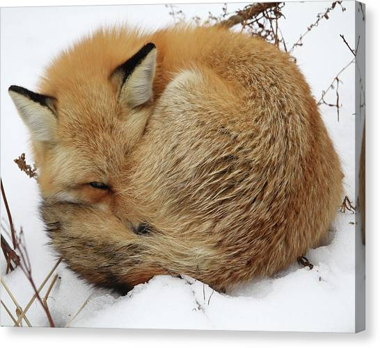 Curled Up Fox Canvas Print