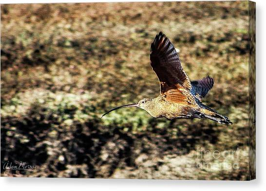 Curlew In Flight Canvas Print