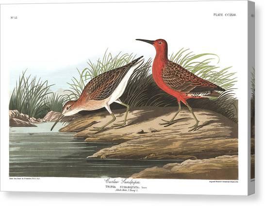 Sandpipers Canvas Print - Curlew Sandpiper by John James Audubon