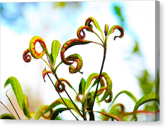 Curly Q's Canvas Print by Nanette Hert