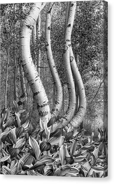 Curved Aspens Canvas Print