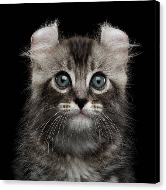 Kitten Canvas Print - Cute American Curl Kitten With Twisted Ears Isolated Black Background by Sergey Taran