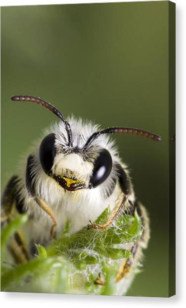 Cute Bee Canvas Print by Andre Goncalves