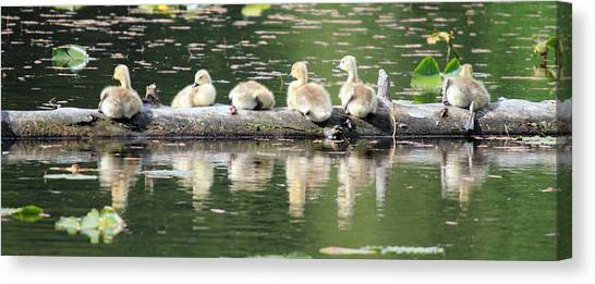 Cute Canadian Geese Chicks Canvas Print by Pierre Leclerc Photography