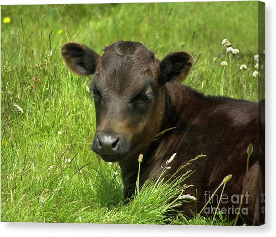 Cute Cow Canvas Print