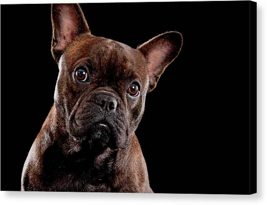 French Bull Dogs Canvas Print - Cute French Bull Dog  by Hugo Orantes