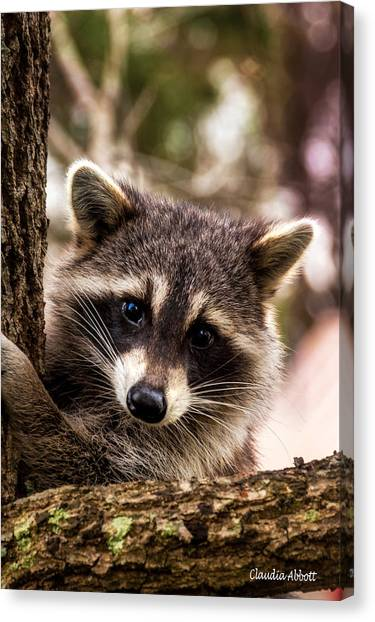 Canvas Print featuring the photograph Cute Little Raccoon  by Claudia Abbott