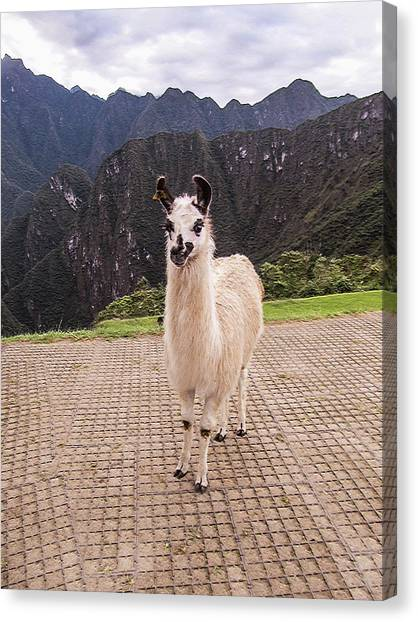 Cute Llama Posing For Picture Canvas Print