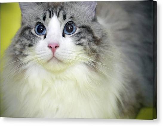 Main Coons Canvas Print - Cat Portrait Fine Art Photography, Photo Series 30. by Akos Horvath
